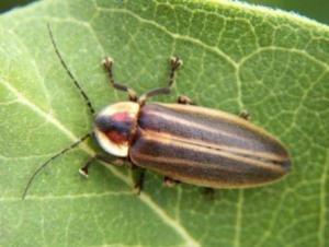 semestafakta-Peeny-Walley beetle