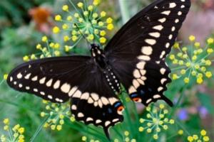 semestafakta-The Giant Swallowtail
