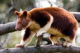semestafakta-tree kangaro