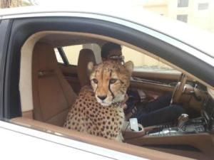 semestafakta-cheetah in dubai