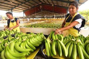 semestafakta-guatemala banana