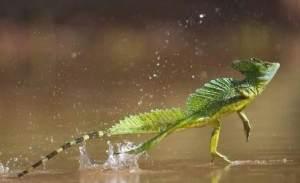 semestafakta-Jesus Christ lizard