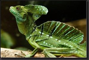 semestafakta-Jesus Christ lizard2
