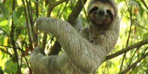 semestafakta-sloth