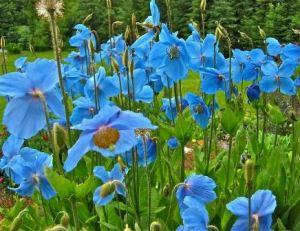 semestafakta-Himalayan Blue Poppy