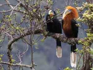 semestafakta-hornbill bhutan