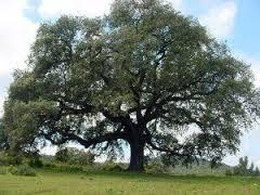 semestafakta-Madroño tree