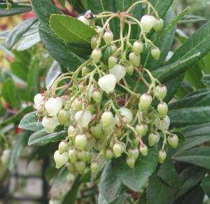 semestafakta-Madroño tree2