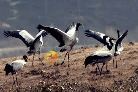 semestafakta-sacred black-necked crane