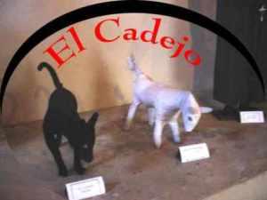 semestafakta-white Cadejo
