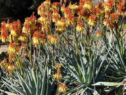 semestafakta- Aloe viridiflora