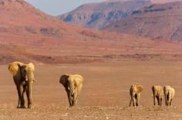 semestafakta-Desert Elephants