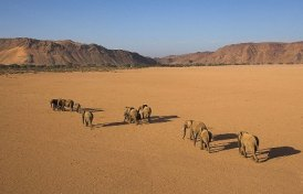 semestafakta-Desert Elephants2