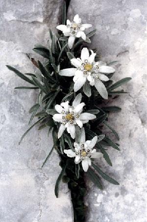 semestafakta- edelweiss
