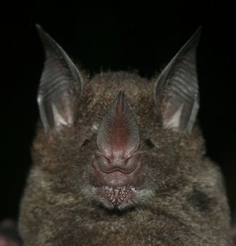 semestafakta- giant leaf-nosed bat
