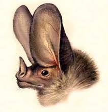 semestafakta-giant leaf-nosed bat2