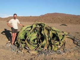 semestafakta- Welwitschia Mirabilis