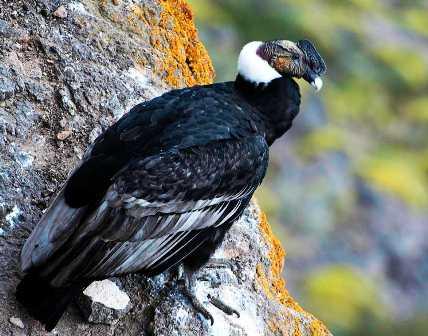 semestafakta-Andean Condor