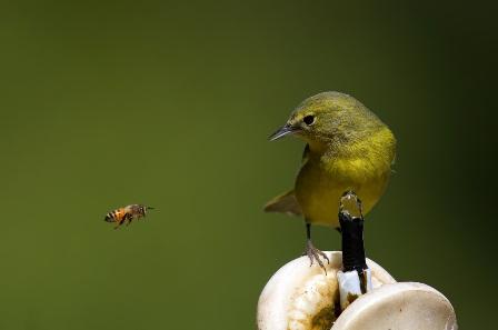 semestafakta-bee-warbler