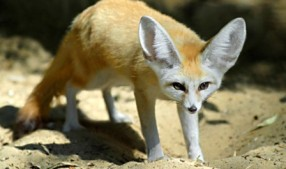 semestafakta-fennec fox