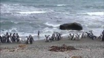 semestafakta-Seno Otway Penguin