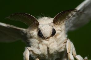 semestafakta-Venezuelan Poodle Moth2